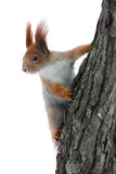 Squirrel on the tree. At white background royalty free stock image