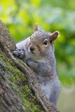 Squirrel On Tree Stock Photography
