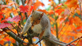 Squirrel in a tree. Squirrel eating leaves off a tree in the woods Royalty Free Stock Photography