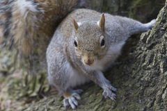 Squirrel on the tree. Squirrel sitting on the tree, ready to jump stock image