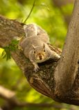 Squirrel in tree Royalty Free Stock Photography