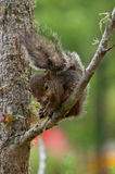 Squirrel on tree. Cute squirrel eating on the tree Stock Photos