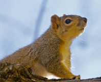 Squirrel Tree. Close up of a Single brown squirrel on  a tree Royalty Free Stock Image