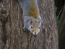 Squirrel on Tree. Squirrel hanging on to the bark of a tree facing the camera Stock Images
