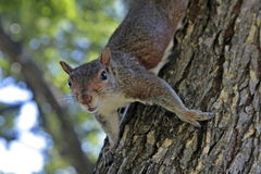 Squirrel on a tree Stock Images