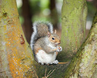 Squirrel in tree Royalty Free Stock Images