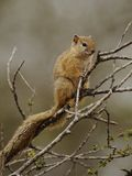 Squirrel in the Tree. This little rodent i can photograph in the Kruger National-Park in South Africa Royalty Free Stock Images