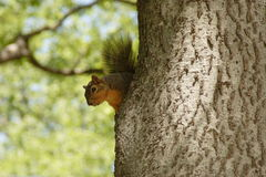 Squirrel in tree Royalty Free Stock Photos