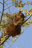 Squirrel in tree. Fox Squirrel eating new buds in a tree Stock Image