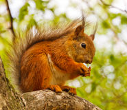 Squirrel on a tree. In the park Royalty Free Stock Image