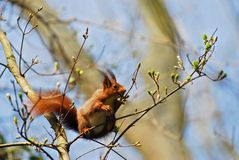 Squirrel in a tree. A red squirrel in a tree eating a bud Royalty Free Stock Images