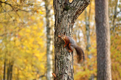 Squirrel on the tree Stock Photography