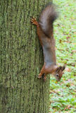 Squirrel on a tree. Squirrel sits on a tree looking warily at the camera Royalty Free Stock Photography