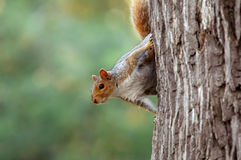 Squirrel on tree. Close-up Stock Photos