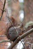 Squirrel. A squirrel in the tree Royalty Free Stock Images