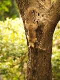 Squirrel on a tree. A brown squirrel going down royalty free stock images