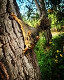 Squirrel on a tree. Tree with squirrel Stock Image