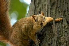 Squirrel on a Tree. Fox Squirrel on a Tree Royalty Free Stock Photography