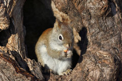 Squirrel in tree Stock Photo