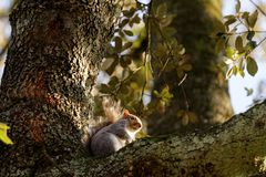 Squirrel on a tree in autumn royalty free stock photo