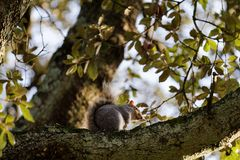 Squirrel on a tree in autumn stock photos