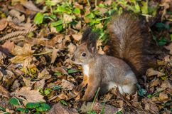 Squirrel on the tree in the park Royalty Free Stock Photography