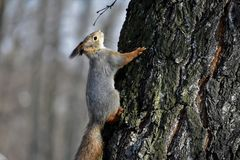A squirrel on a tree bark. A close-up photo of a squirrel on a tree bark in a city park Stock Photography