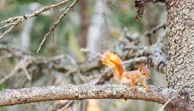 Squirrel on a tree branch.  royalty free stock photos