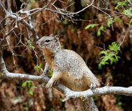 Squirrel on a tree branch stock photo