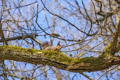 Squirrel on a tree branch royalty free stock photo