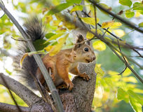 Squirrel on tree branch Stock Images