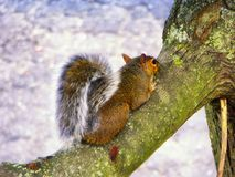 Squirrel climbing on the tree Stock Image