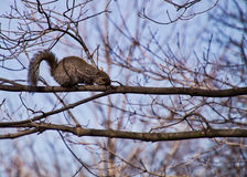 Squirrel on Tree Branch Royalty Free Stock Photos