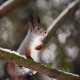 Squirrel on a tree branch. Stock Photography
