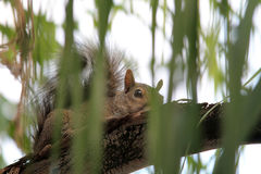Squirrel in tree Stock Images