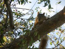 Squirrel in Tree. Caught a squirrel in a tree looking at me Stock Image