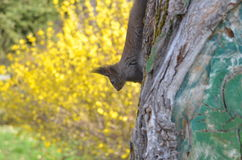 Squirrel on tree. Squirrel caught on tree trunk in spring Royalty Free Stock Image