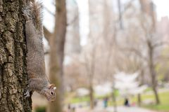 Squirrel on the tree in Central park, New York Stock Photo