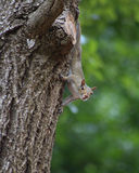 Squirrel on tree. Squirrel climbing down a tree pauses to look around before continuing on Stock Photography