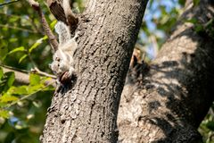 Gary squirrel clinging to a tree royalty free stock photo