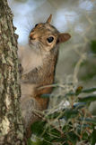 Squirrel on a tree. A close-up of a brown squirrel on a tree Stock Images