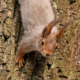 Squirrel on a tree close-up. Photographed in spring Gatchina park near the palace of Emperor Paul I Stock Photos