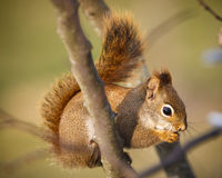 A squirrel in a tree Royalty Free Stock Images