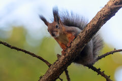Squirrel on a tree closeup Royalty Free Stock Image