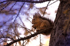 Squirrel on the tree. Squirrel with cone sitting on the branch of a larch royalty free stock image