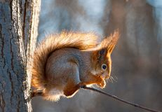 Squirrel on a tree in a contour light. Squirrel sitting on a tree in a contour light Stock Images