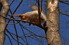 Squirrel on a tree Royalty Free Stock Photos