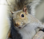 Squirrel in a Tree Stock Image