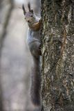 Squirrel on the tree Royalty Free Stock Photos