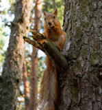 Squirrel on a tree. Cute squirrel sits on a tree branch Royalty Free Stock Photo